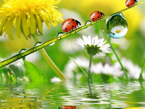 nature dandelion chamomile insect ladybug spring rain