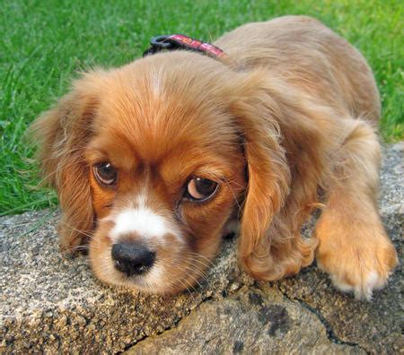 daily puppy puppy breed cocker spaniel english