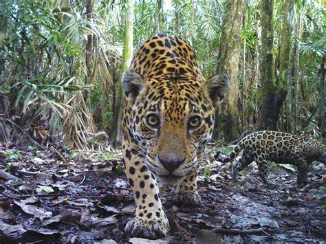 jaguar cat fantastic quot indomitable quot jaguars may lessons in survival for us