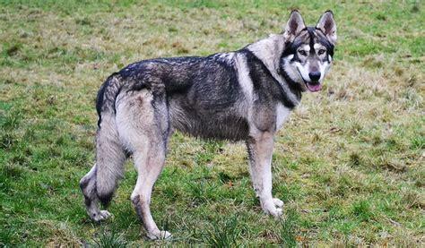 northern inuit dog full desktop backgrounds