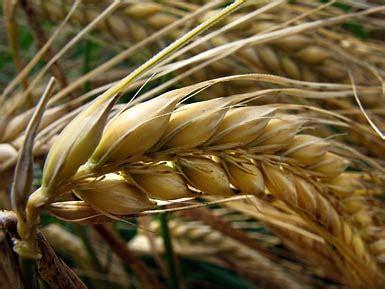 gerste barley hordeum vulgare auf pflanzenliebede bei