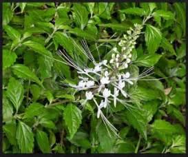pengertian tanaman kumis kucing klasifikasinya