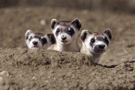 black footed ferrets    cutest endangered