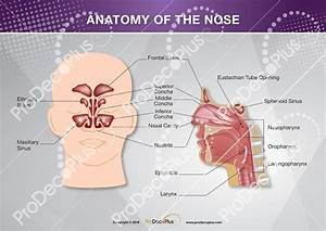 29 Ear Nose And Throat Diagram