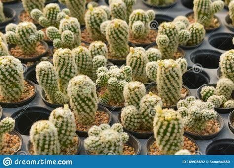 Cactus, Cactus Background, Cactus Farm From Thailand ...