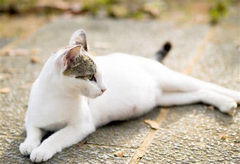 comment se passe la gestation pour nos chattes asloservices garde de chats 224 domicile ou au