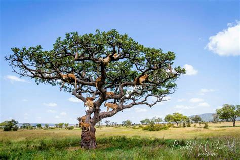 lion family tree africa geographic