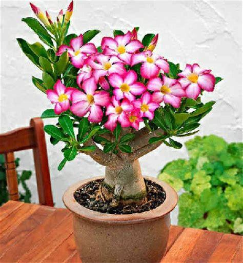 jual bibit bunga kamboja jepang lapak tanaman
