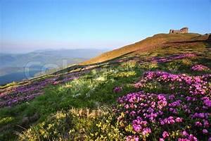 Blumen Im Sommer : magische rosa rhododendron blumen im sommer berg stockfoto colourbox ~ Whattoseeinmadrid.com Haus und Dekorationen