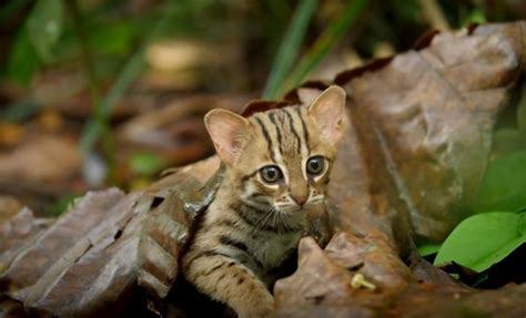 spotted rusty cat smallest wild chat cats bbc golden inde le animal plus know species asiatic facts meet tigers didn