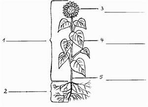 Aufbau Einer Blume : hochwertige baustoffe bau der blute unterrichtsmaterial ~ Whattoseeinmadrid.com Haus und Dekorationen