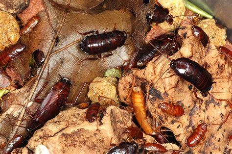 cafards cuisine cockroach blatta orientalis