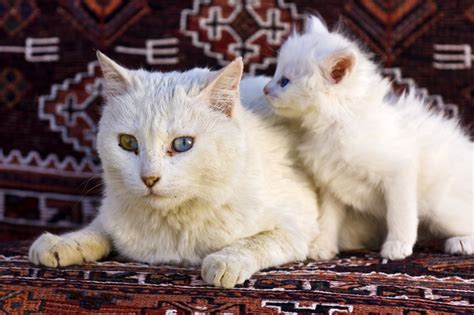 Turkish Angora Cat Breed Information, Pictures