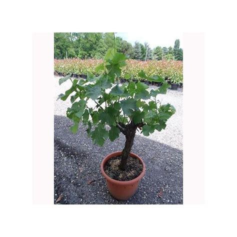 cep de vigne en pot cep de vigne blanc plantes et jardins