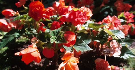 when do begonias bloom how long do begonias bloom ehow uk