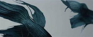 beautiful fish gif set aquarium betta fish royal blue ...