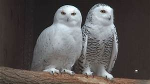 Look for snowy owls migrating to Indiana | WSBT