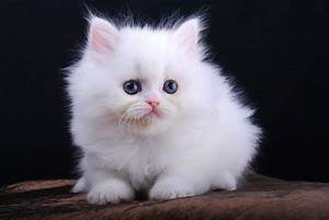 Cute White Cat Isznt | ANIMAL ONLINE