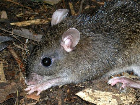 Large Mindoro Forest Mouse