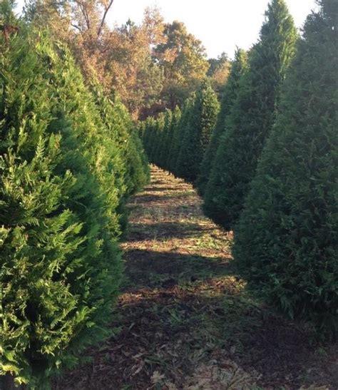 mississippis  christmas tree farm pine mountain tree