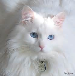 white cat with blue liz photos primarily animals nature