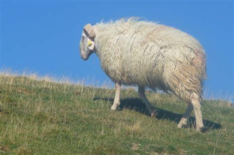 joli mouton du pays basque ctoc org
