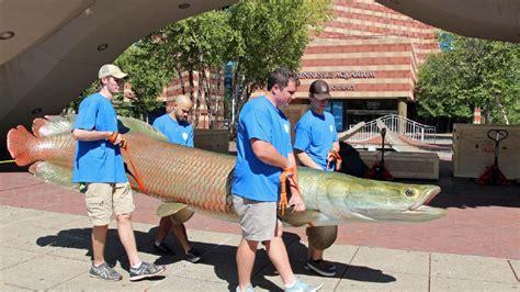 monster fish fish arrive  tennessee aquarium wtvc