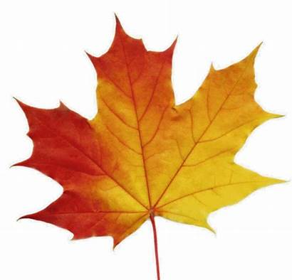Maple Leaf Leaves Canada Clipart Animated Syrup