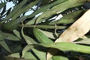 Oleander Braune Blätter : schwarze knubbel und weisse ablagerungen am oleander ~ Lizthompson.info Haus und Dekorationen