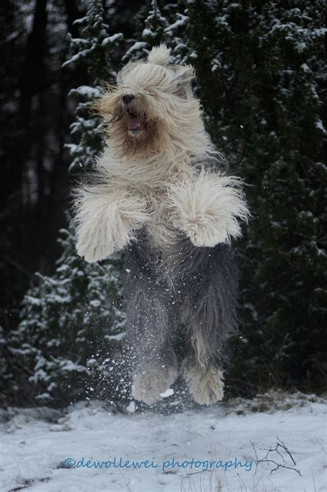 english sheepdogs  images  pinterest