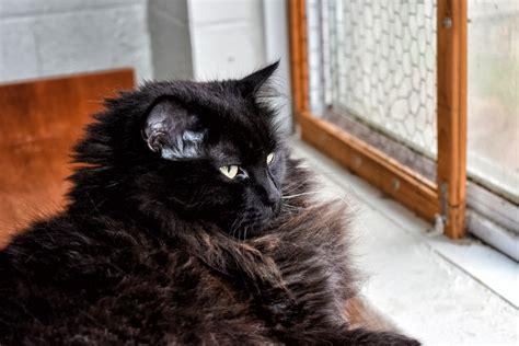 fotos gratis gatito gato negro bigotes canada