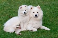 Baby Samoyed Dog