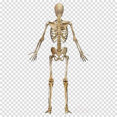 Skeleton Human Clipart Muscle Muscles Transparent Clip