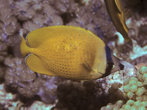 sunburst butterflyfish wikipedia