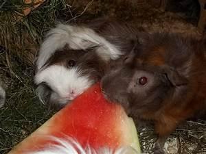 Was Fressen Ratten : der speiseplan der meerschweinchen happy ~ One.caynefoto.club Haus und Dekorationen