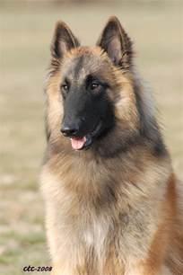 Belgian Malinois German Shepherd Mix Shedding by 1000 Images About Belgian Tervuren On Belgian