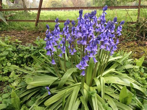 are your bluebells delicate or thugs