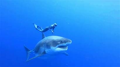 Deep Shark Largest Sharks Sighting Gifs Hawaii