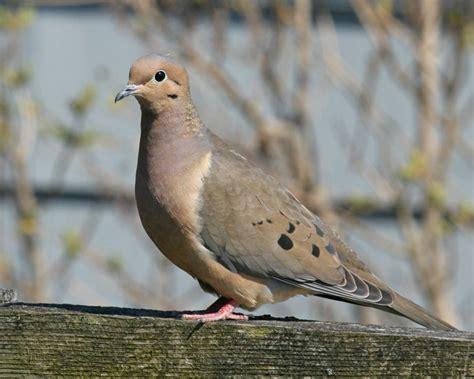 mourning dove birdspix
