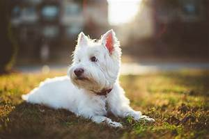 West Highland Terrier HD Wallpapers