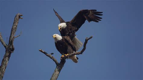 bald eagle behavior american eagle foundation