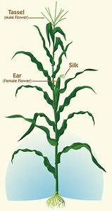 Sweet Corn Science  What Makes Sweet Corn Sweet  Why Does