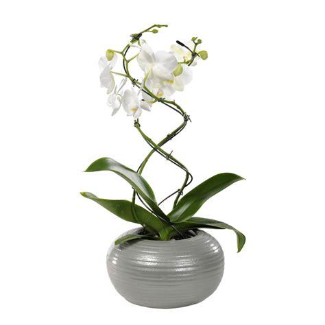 orchid 233 e phalaenopsis 2 br pot 12 cm botanic