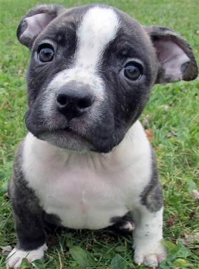 Pitbull Puppies Pit Bull Puppy Pitbulls Nose