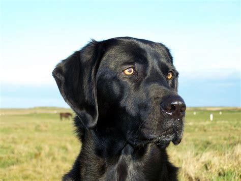 Head Size  Lab Dog Park  Black Labrador