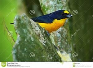 Oiseau Jaune Et Bleu : oiseau exotique jaune throated d 39 euphoniums d 39 euphoniums bleu et jaune de hirundinacea du ~ Melissatoandfro.com Idées de Décoration