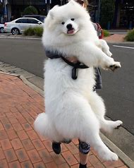 Big Samoyed Dog