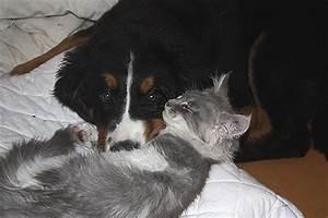 Berner Sennenhund Gewicht : aschley vom wittmunderwald berner sennenh ndin im bsfd e v ~ Markanthonyermac.com Haus und Dekorationen