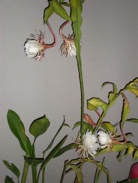 gambar bunga wijayakusuma indonesiadalamtulisan terbaru
