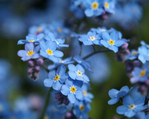 forget me nots forget me not